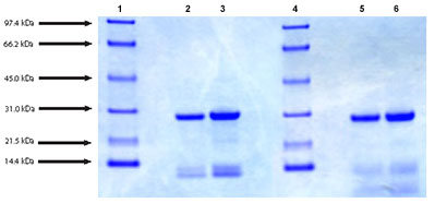 SDS-PAGE - Cathepsin D protein (Active) (ab91123)