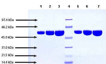 SDS-PAGE - alpha 1 Antitrypsin protein (Active) (ab91136)