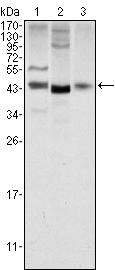 Western blot - Wnt1 antibody [10C8] (ab91191)