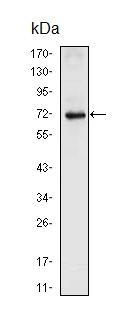 Western blot - Nkx2.5 antibody [2E1] (ab91196)