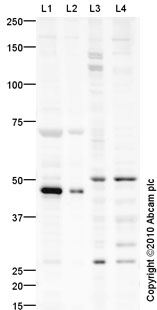 Western blot - PODXL antibody (ab91306)