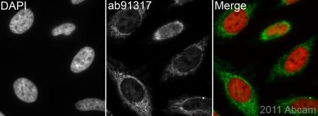 Immunocytochemistry/ Immunofluorescence - Cytochrome C oxidase subunit II antibody (ab91317)