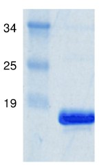 SDS-PAGE - msrB protein (Active) (ab91349)