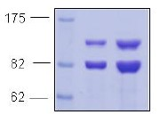 SDS-PAGE - PI 3 Kinase p85 alpha protein (Active) (ab91351)