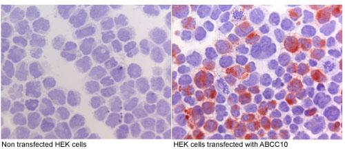 Immunocytochemistry - ABCC10 antibody [M7I-3] (ab91451)