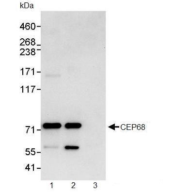 Immunoprecipitation - CEP68 antibody (ab91460)