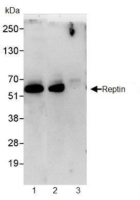 Immunoprecipitation - Reptin/TIP49B/RUVB2 antibody (ab91462)