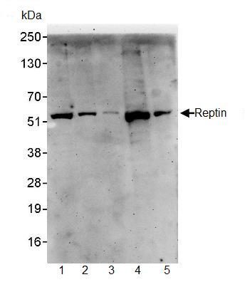 Western blot - Reptin/TIP49B/RUVB2 antibody (ab91462)
