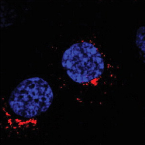 Immunocytochemistry/ Immunofluorescence - Anti-GOLPH3 antibody (ab91492)