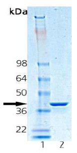 SDS-PAGE - Hsp40 protein (Human) (ab91557)