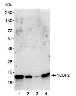 Western blot - NCBP2 antibody (ab91560)