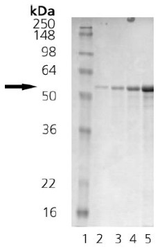 SDS-PAGE - Calreticulin protein (Human) (ab91577)