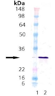 Western blot - Hsp27 protein (Human) (ab91578)