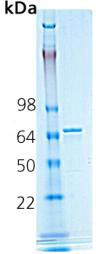 SDS-PAGE - Hsp70 protein (Active) (ab91602)