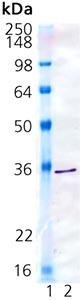 Western blot - Biliverdin Reductase protein (Active) (ab91622)