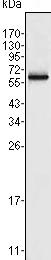 Western blot - FRK antibody [4E1] (ab91623)