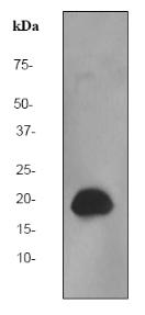 Western blot - Myoglobin antibody [EP3080] (ab91631)