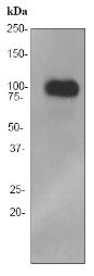 Western blot - FE65 antibody [EPR3538] (ab91650)