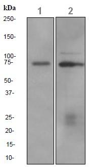 Western blot - CRTC3 antibody [EPR3440] (ab91654)