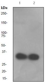Western blot - Osteopontin antibody [EPR3688] (ab91655)