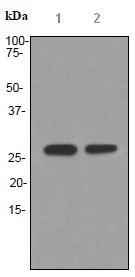 Western blot - Anti-Apolipoprotein M antibody [EPR2904] (ab91656)
