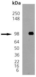 Western blot - GRP94 protein (ab92290)