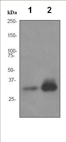 Western blot - Apolipoprotein F antibody [EPR2908] (ab92301)