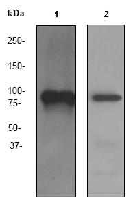 Western blot - SCARF1 antibody [EPR3848] (ab92308)
