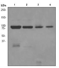 Western blot - MLH1 antibody [EPR3894] (ab92312)