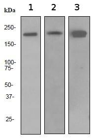 Western blot - Dnmt1 antibody [EPR3522] (ab92314)