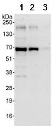 Western blot - BDP / ARID3B antibody (ab92328)