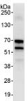 Immunoprecipitation - BDP / ARID3B antibody (ab92328)
