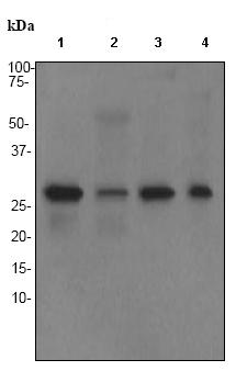 Western blot - Calpain S1 antibody [EPR3324] (ab92333)
