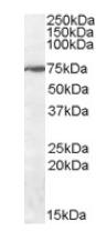 Western blot - WIZ antibody (ab92334)