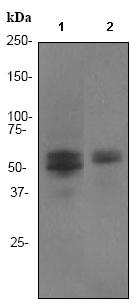 Western blot - Anti-RUNX1 / AML1 + RUNX3 + RUNX2 antibody [EPR3099] (ab92336)