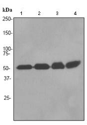 Western blot - RbAp48 antibody [EPR3412] (ab92344)