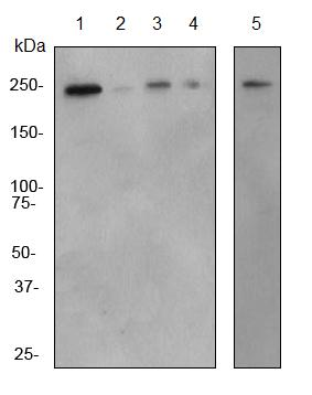 Western blot - Plexin A1 antibody [EPR3449] (ab92346)