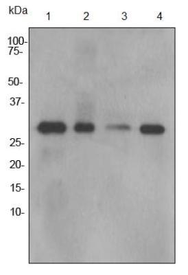 Western blot - Calpain 1 antibody [EPR3323] (ab92356)