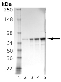 SDS-PAGE - GRP78 BiP protein (ab92363)