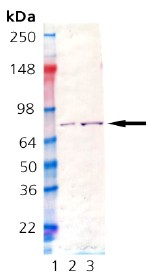 Western blot - GRP78 BiP protein (ab92363)