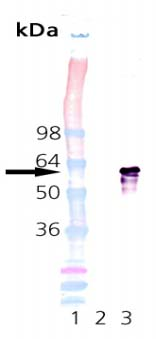 Western blot - Hsp60 protein (Active) (ab92364)