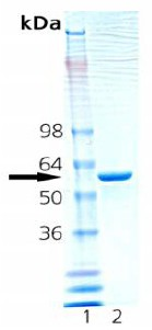 SDS-PAGE - Hsp60 protein (Active) (ab92365)