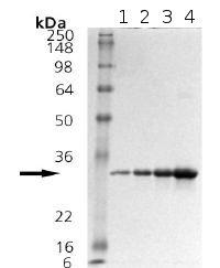 SDS-PAGE - Heme Oxygenase 1 protein (ab92366)