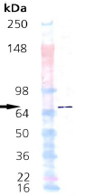 Western blot - Hsp70 protein (Active) (ab92415)