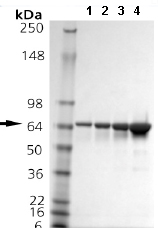 SDS-PAGE - HSPA2 protein (ab92433)
