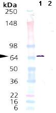 Western blot - HSPA2 protein (ab92433)