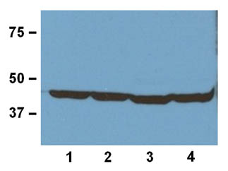 Western blot - Anti-beta Actin antibody [BA3R] (ab92436)