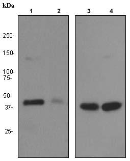 Western blot - PCYT1A antibody [EPR3941] (ab92440)