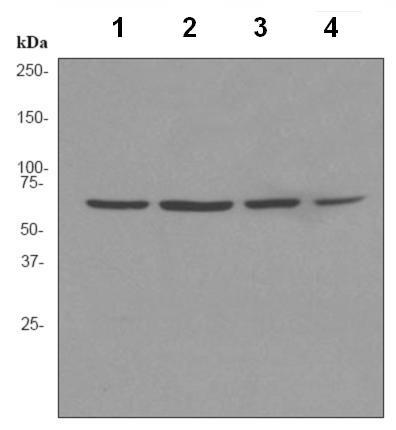 Western blot - Ku70 antibody [EPR4027] (ab92450)