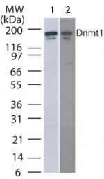 Western blot - Dnmt1 antibody [60B1220.1] - ChIP Grade (ab92453)